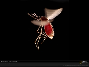 anopheles-mosquito-1073551-lw