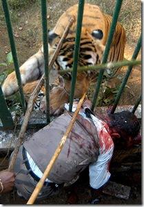 Tigre devora