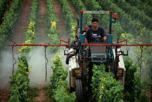 Worker Spraying Pesticide on Grape Vines